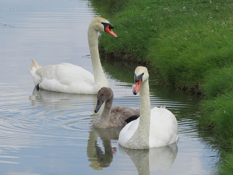 The Mute Swan family together.