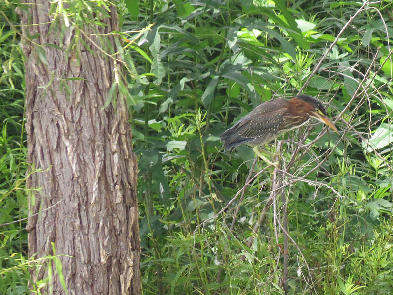 A fledgling Green Heron.
