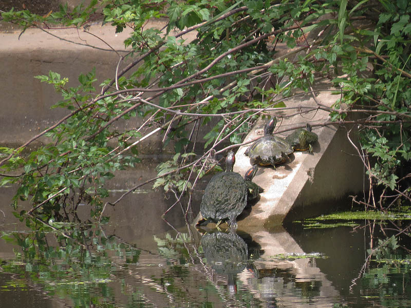 Red-eared Sliders basking in the sun.