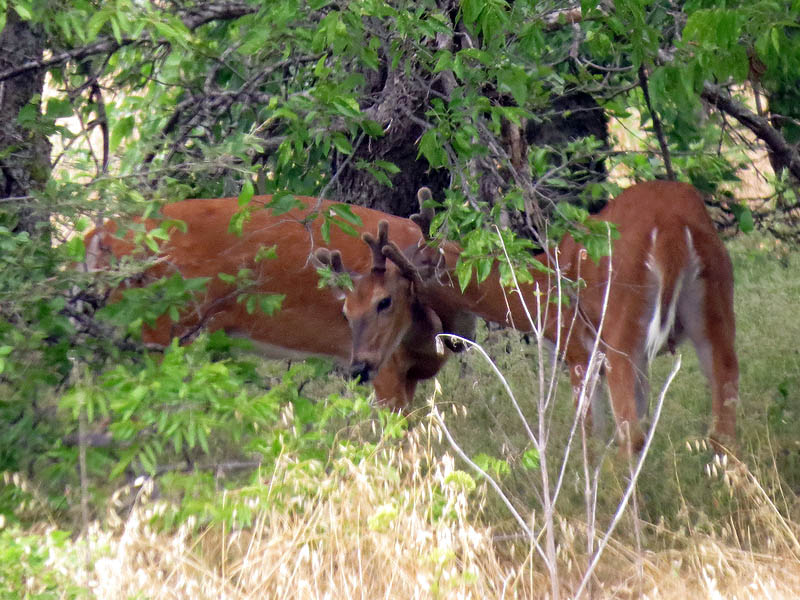 White-tailed  Deer in The Colony, Texas.