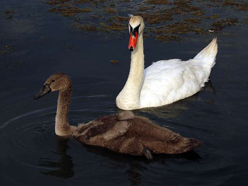 A nice size comparison between the cygnet and his mother.