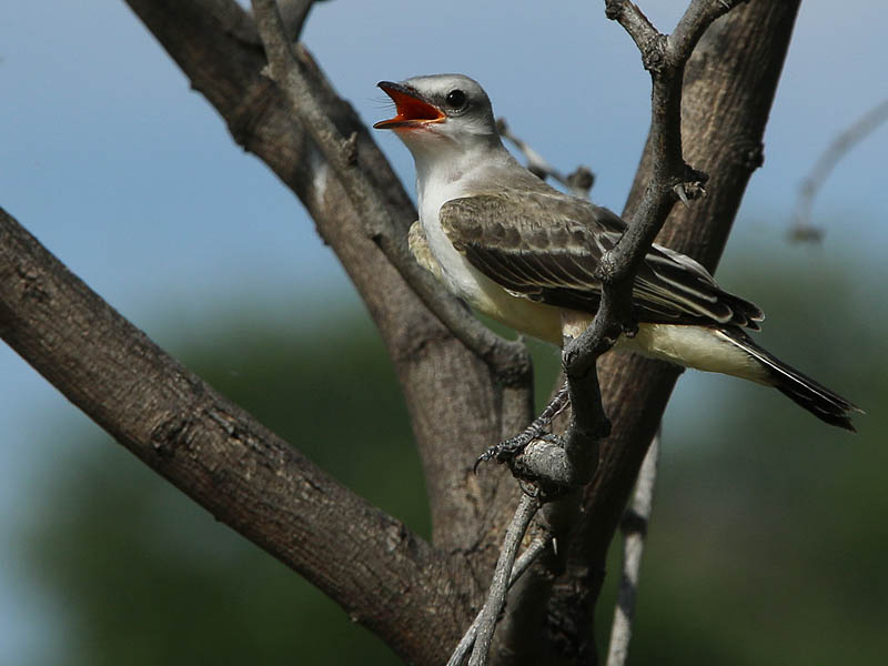 One of two fledgling Scissor-tailed Flycatchers.