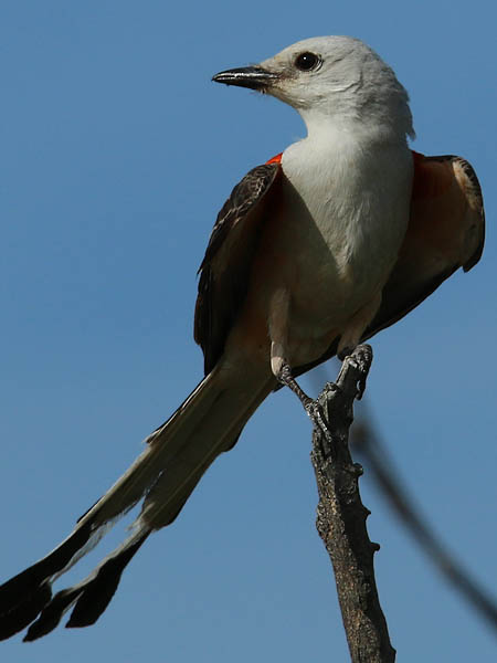 An adult Scissor-tailed Flycatcher.