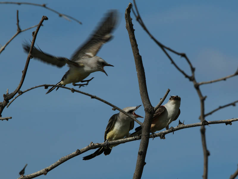 The young birds can fly from branch to branch now.