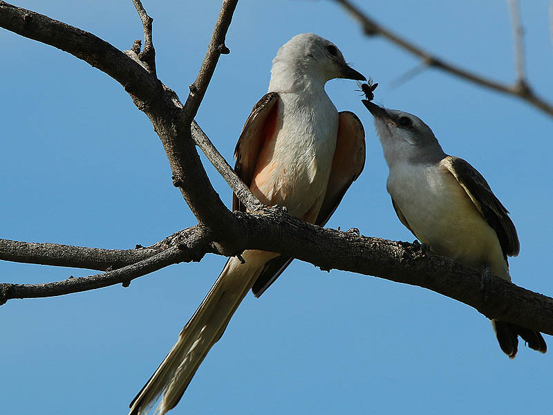 "A perfect illustration of why these birds are called ""flycatchers."""