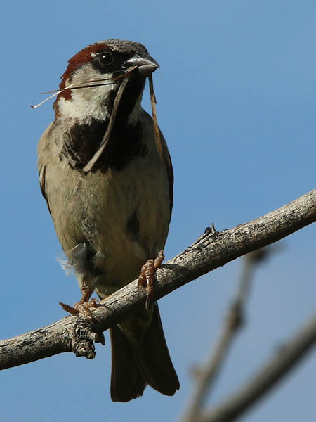 A House Sparrow with nesting on his mind.