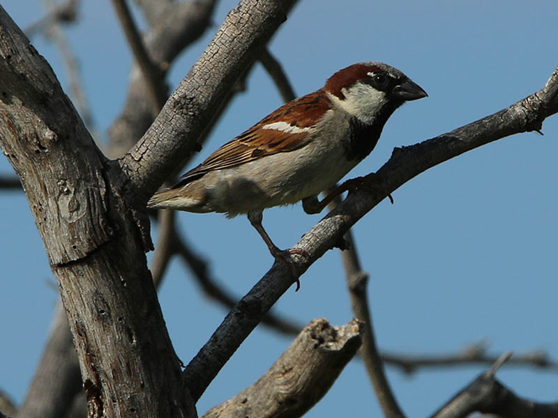 A male House Sparrow.
