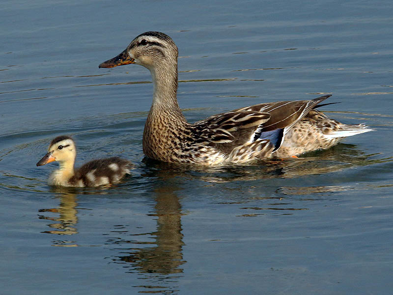 This mother Mallard is down to just one duckling.