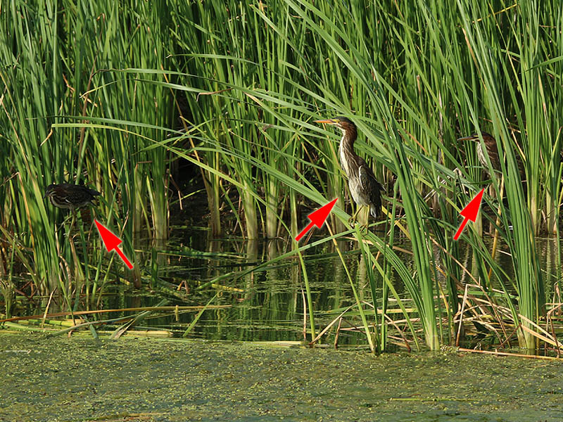 All three of the juvenile herons are present in this photograph.