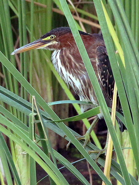 The young herons did their best to stay well concealed in the reeds.