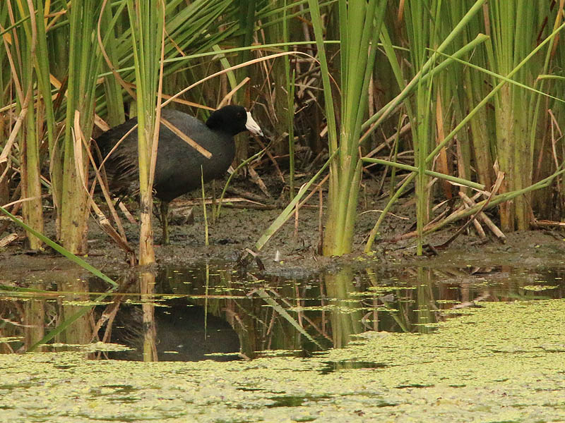 A lone American Coot foraging in the reed bed.