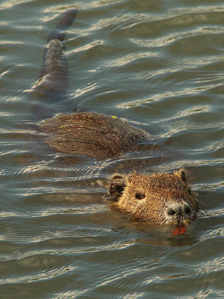 A Nutria lazing in the still pond water.