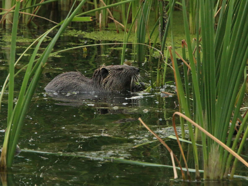 A juvenile Nutria feeding on reeds.