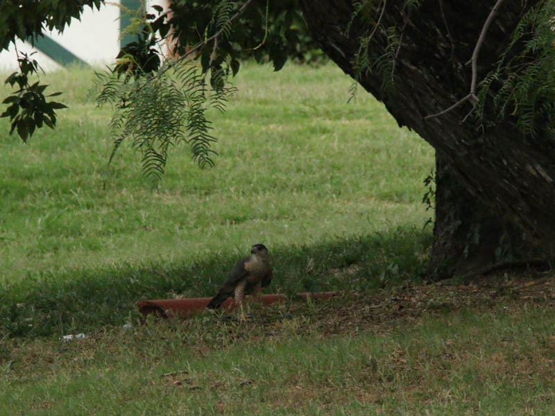 The Cooper's Hawk last stop was under this Mesquite tree, where he resumed feeding on his kill.