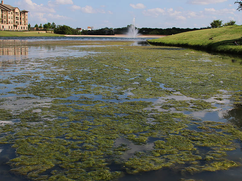 Mats of green algae forming on the surface of Josey Ranch Lake in Carrollton, Texas