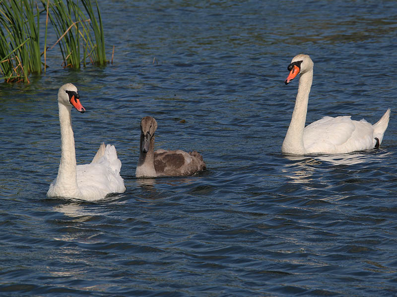 The Mute Swan family at week 14.