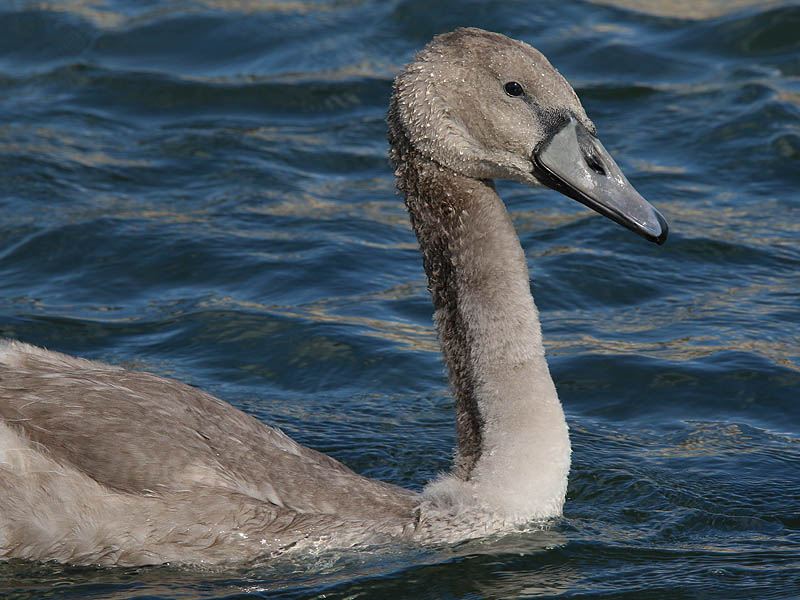 A closeup of the Mute Swan cygnet.