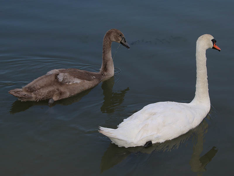 It won't be long before the cygnet is as large as his mother.