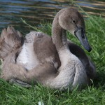 Mute Swan – Nest 2014 Update 14