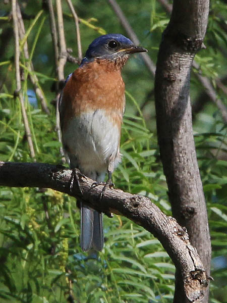 Another look at the Eastern Bluebird.