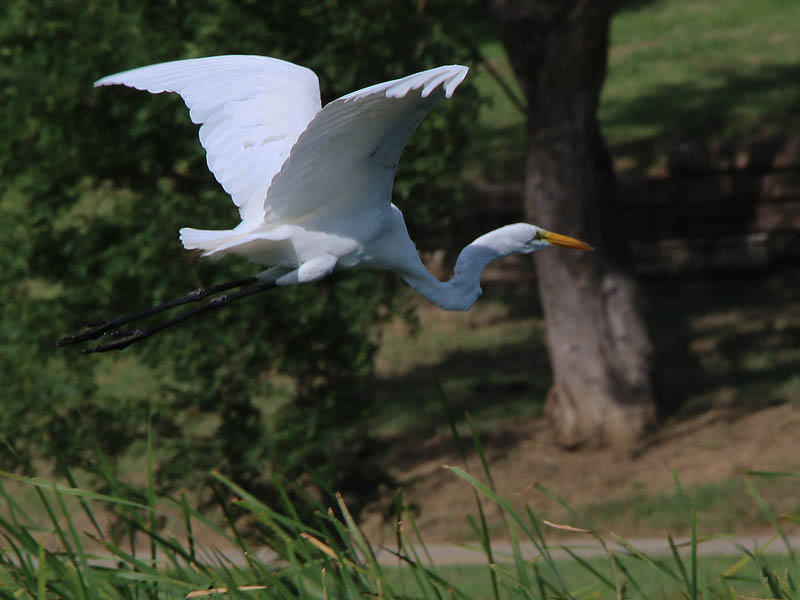 On windy days a large bird like this Great Egret can have difficulty becoming airborne.