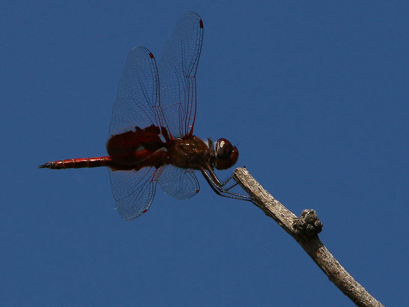 A Faded Pennant.  Notice how its front legs are being held in a folded position just behind the dragonfly's head.