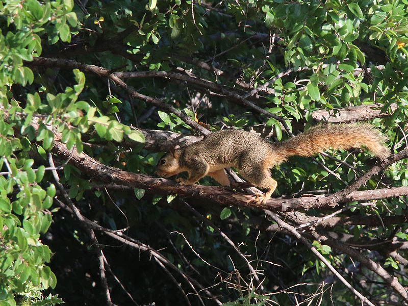 An acrobatic Fox Squirrel.