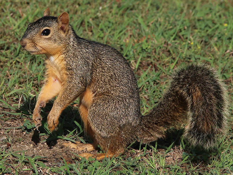 The charming Fox Squirrel.