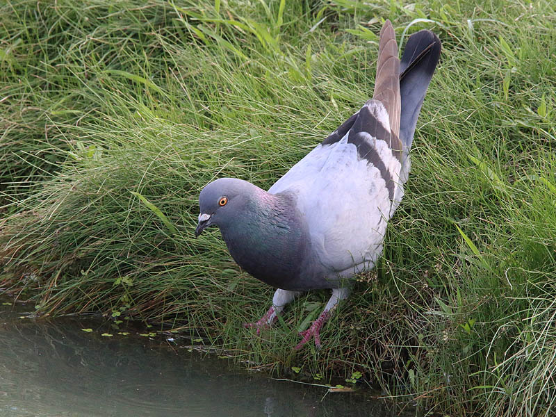 A Rock Dove preparing to take a drink.