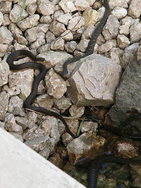 A Yellowbelly Water Snake (left), a Blotched Water Snake (top right), and a part of a larger Blotched Water Snake (lower right).