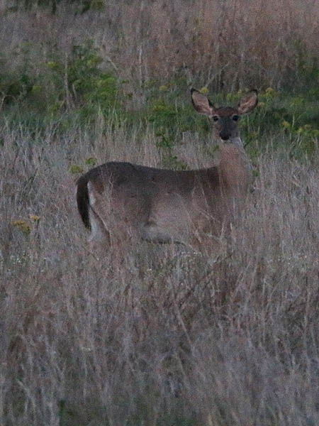 A White-tailed Deer at dusk.