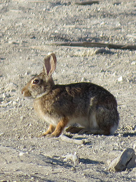 An Eastern Cottontail on the dry, rocky ground.