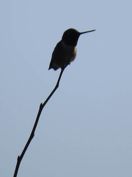 A Ruby-throated Hummingbird in silhouette.