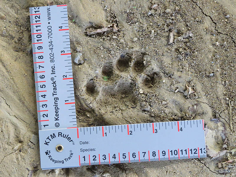 Overlapping Bobcat tracks forming a convincing five-toed River Otter track.