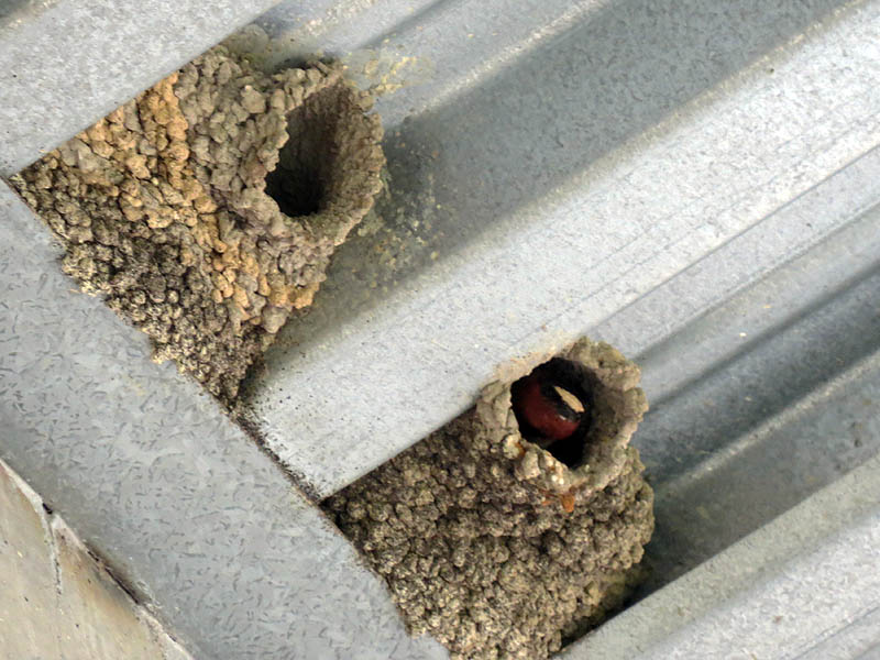 Cliff Swallow nests under a bridge.