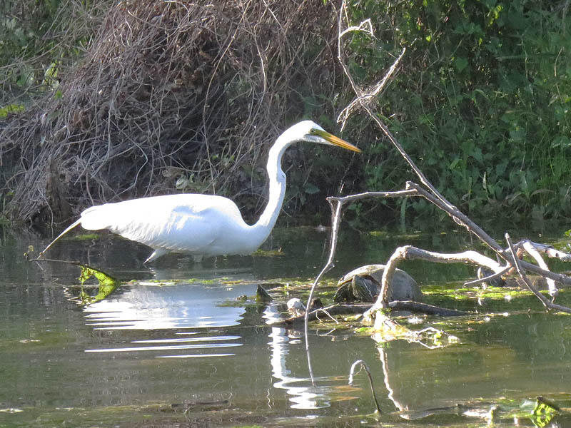 A Great Egret hunting next to a Red-eared Slider.