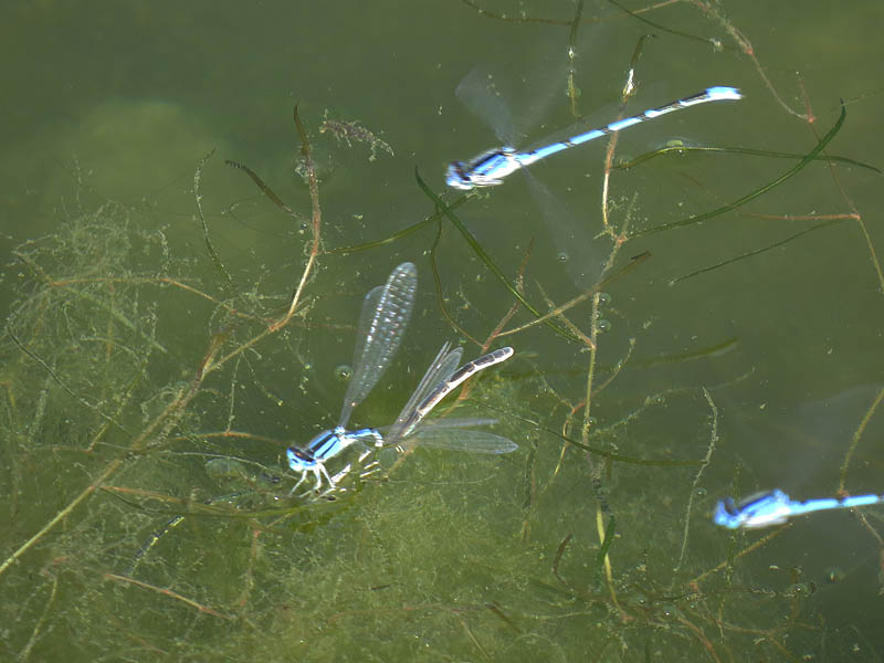 Here the female bluet is being held under the water for some reason.