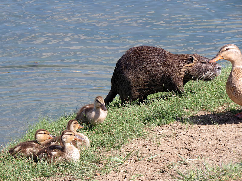 The Mallards were not concerned about the Nutria's proximity.