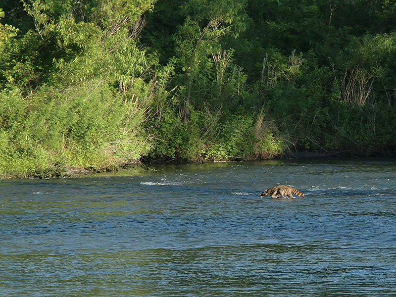 A Raccoon wading across the Elm Fork of the Trinity River.