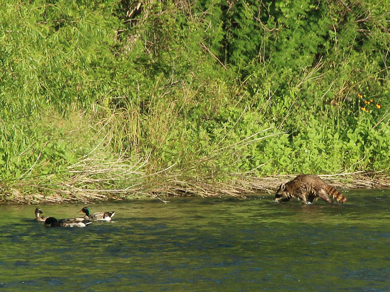 The Mallards took scant notice of the Raccoon as he left the water.