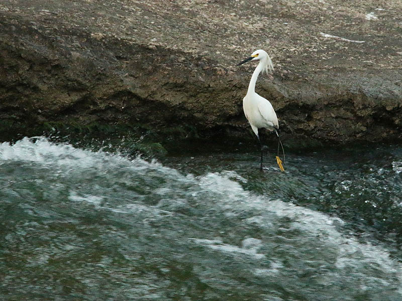 A Snowy Egret fishing in rapidly flowing water.