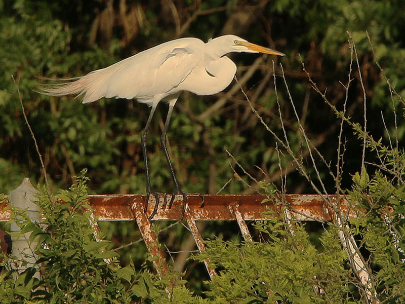A Great Egret at dusk.