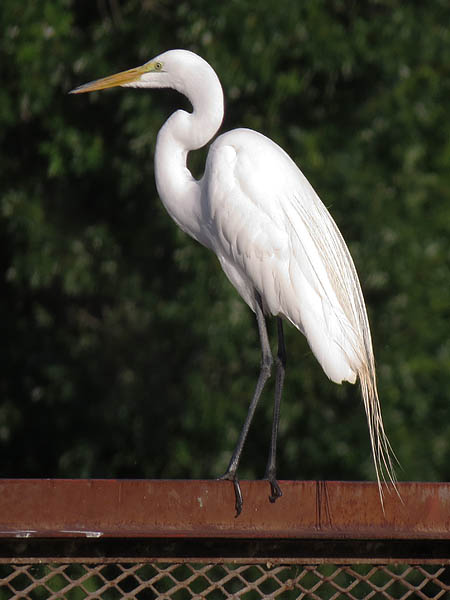 The elegant Great Egret.