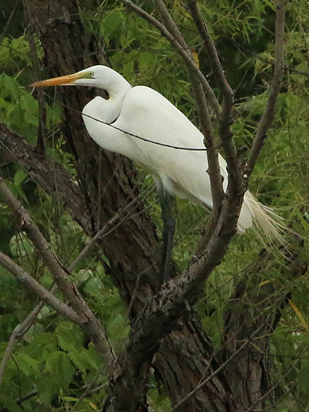 I found this Great Egret in a more natural setting.