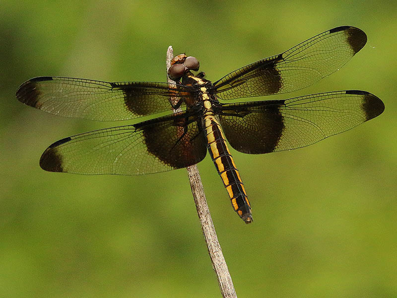 A female Widow Skimmer.