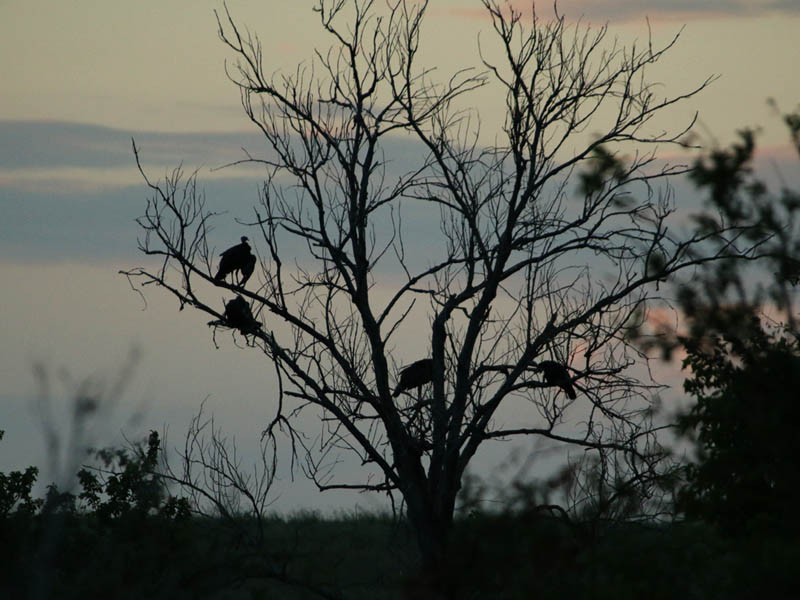 Wild Turkeys roosting at Twilight.