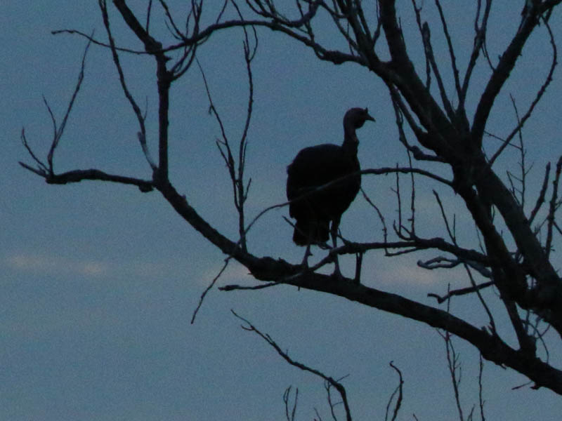 The turkeys created interesting silhouettes.
