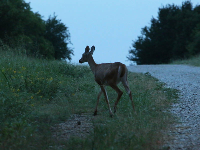 A deer on the move at dusk.