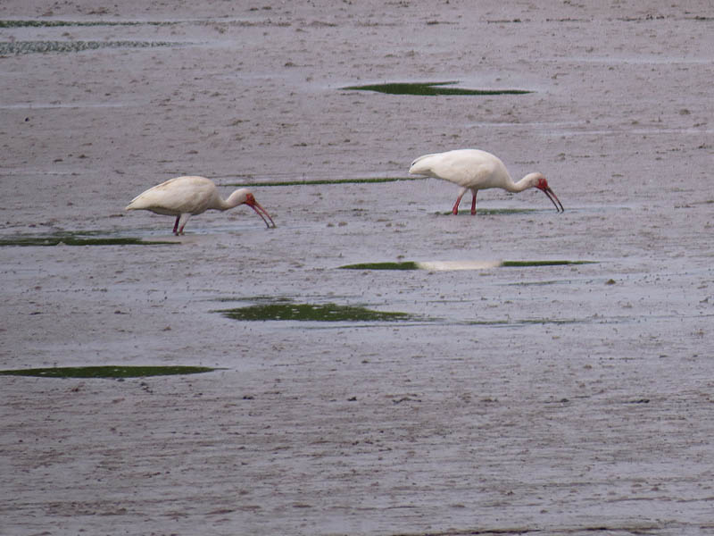 White Ibises feeding in a knee-deep  slurry.