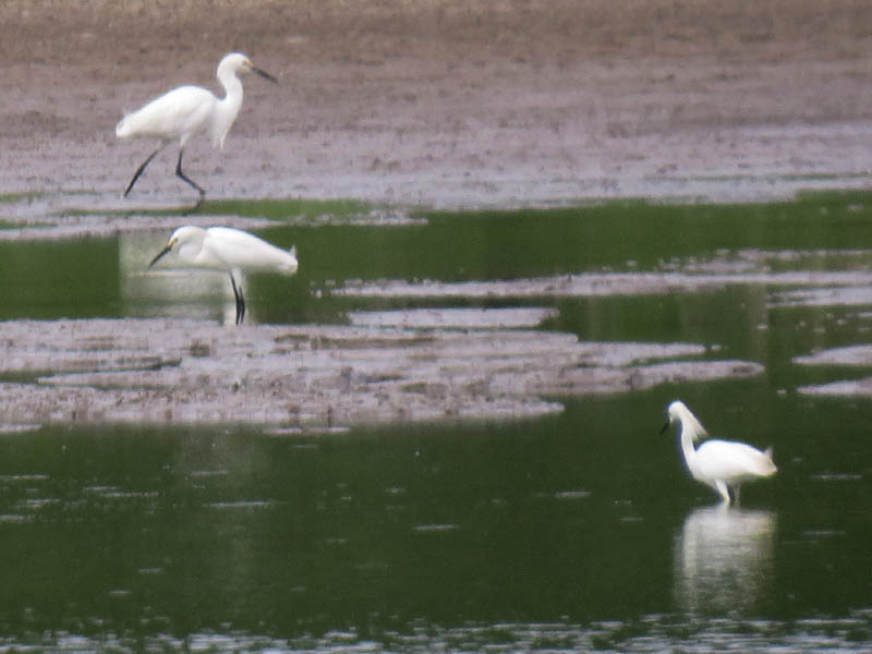 A trio of Snowy Egrets